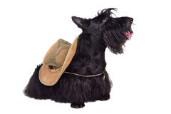Black terrier in hat. Sitting scotch terrier in hat on a white background stock photography