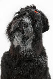 Black terrier with muzzle in the snow Royalty Free Stock Photos