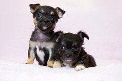 Black terrier puppy Royalty Free Stock Photography
