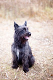 Black terrier Royalty Free Stock Photo