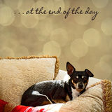 Black Terrier Snuggled in Pillows. At the end of the day small black terrier rests in pillows - background bokeh Royalty Free Stock Photo