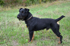 Black terrier is standing on the meadow.  Royalty Free Stock Photography