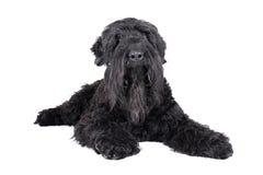 Black terrier Royalty Free Stock Image