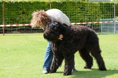 Black Terrier, working test Stock Images