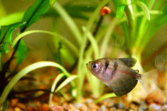 Black tetra Royalty Free Stock Photo