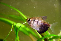 Black tetra Royalty Free Stock Images