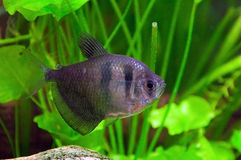 Black tetra Stock Photos
