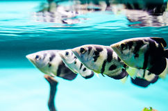 Black Tetra fish Stock Image
