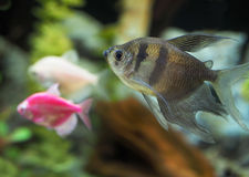 Black Tetras royalty free stock images