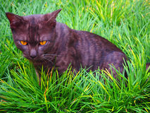Black thai cat in a green grass field. Composition Stock Photo
