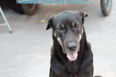 Black Thai dog sitting on the ground floor at the market place with a tongue out and blurred a vehicle wheel. Pet lifestyle in outdoor place adorable animal stock image