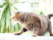 Black thai fat cat stand up with paunch on the floor Stock Image