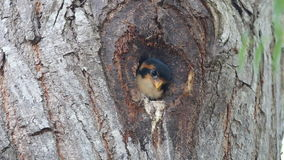 Black-thighed falconet microhierax fringillarius cute birds in tree hollow. Black-thighed falconet microhierax fringillarius cute bird in tree hollow stock footage