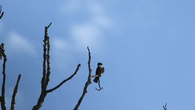 Black-Thighed Falconet (Microhierax fringillarius) stock video footage