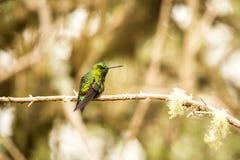 Black-thighed Puffleg  sitting on branch, hummingbird from mountains, Colombia, Nevado del Ruiz,bird perching,tiny beautiful bird. Resting on tree in garden stock photography