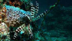 Black thin starfish Stock Image