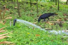 A black thirsty crow, perched on a rubber hose, drinking in the water provided for the lush Thai garden park. A black thirsty crow, perched on a rubber hose stock photos