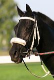 Black Thoroughbred Portrait Royalty Free Stock Photo