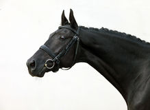 Black thoroughbred racehorse in white background Stock Images