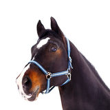 Black thoroughbred stallion head isolated on white Stock Image