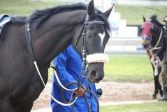 Black Thoroughbred Stallion Stock Images