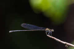 Black Threadtail damselfly Stock Photography
