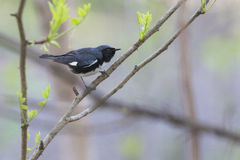 Black-throated Blue Warbler Royalty Free Stock Images