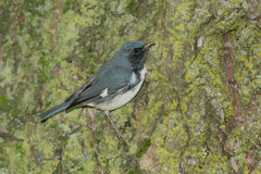 Black-throated Blue Warbler Royalty Free Stock Photography