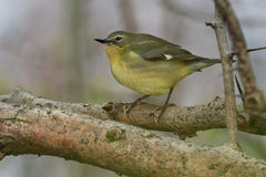 Black-throated Blue Warbler Royalty Free Stock Image
