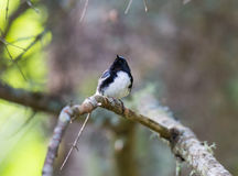 Black Throated Blue Warbler. Royalty Free Stock Photography