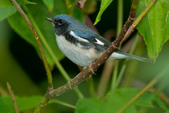 Black-throated Blue Warbler Stock Photos