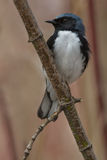 Black-throated Blue Warbler Stock Image