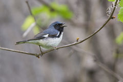 Black-throated Blue Warbler singing Royalty Free Stock Photos