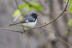 Black-throated Blue Warbler singing Royalty Free Stock Photos