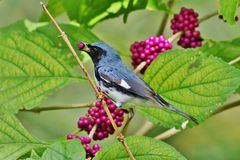 Black -throated Blue Warbler Royalty Free Stock Photography