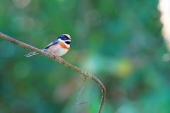 Black-throated Bushtit stock photography
