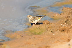 Black throated canary drinking muddy water Royalty Free Stock Photos