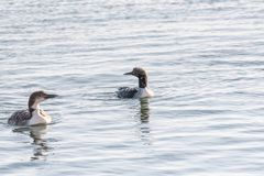 Black-throated diver Gavia arctica and Common Loon Gavia Imme royalty free stock photo