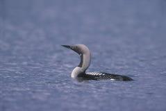 Black-throated diver, Gavia arctica stock image