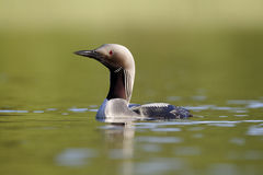 Black-throated diver, Gavia arctica Royalty Free Stock Image