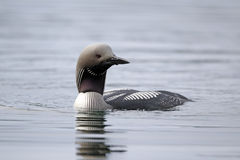 Black-throated diver, Gavia arctica Stock Photography