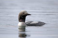 Black-throated diver, Gavia arctica stock photography