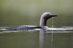 Black-throated diver, Gavia arctica Stock Photos