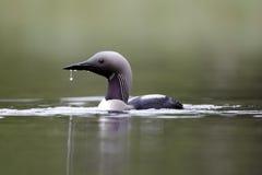Black-throated diver, Gavia arctica. Single bird on water, Finland, July 2012 stock image