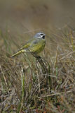 Black-throated finch, Poephila cincta Royalty Free Stock Photography