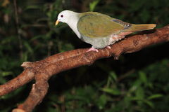 Black-throated fruit dove Stock Images