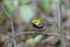 Black-throated green Warbler Stock Image
