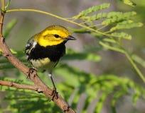 Black-throated Green Warbler Stock Image