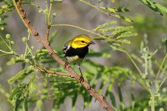 Black-throated Green Warbler Royalty Free Stock Images