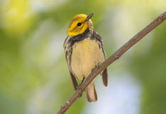Black-throated Green Warbler Stock Photography